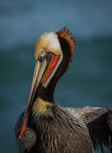 The Magnificent Countenance of a California Brown Pelican