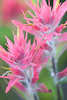 Rose Paintbrush