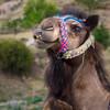 <b> Cappadocia Camel</b>