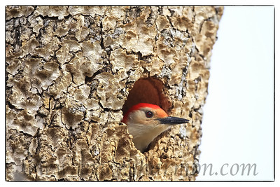 Red-bellied Woodpecker, Oklahoma