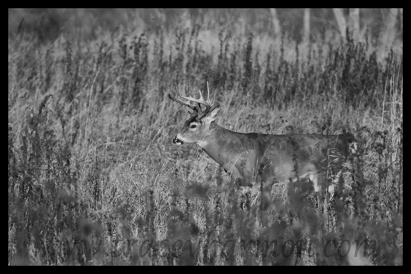 White-tailed Deer (Buck), Minnesota