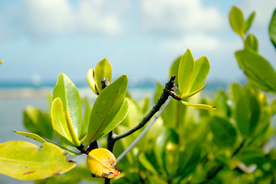 The protector of the coastline, nurturer of underwater life and storm survivor called the mangrove. This plant is a very important part of the marine ecosystem.  Road Reef, Tortola, British Virgin Islands