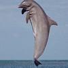 Dolphin At Play V