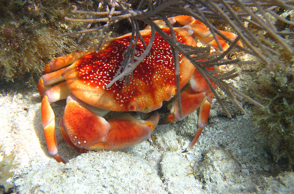 Coral Crab on the Reef