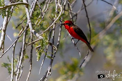 03/17/19 - Red Bird