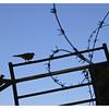 Doves over the Kotel
