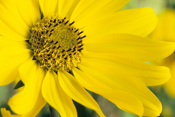 Goldeneye Sunflower