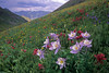 Columbine at Stony Pass