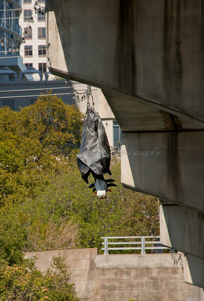 Batcow under the Congress Bridge