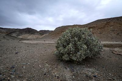 Sagebrush, Twenty Mule Canyon