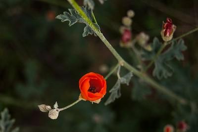 Fresh Desert Bloom