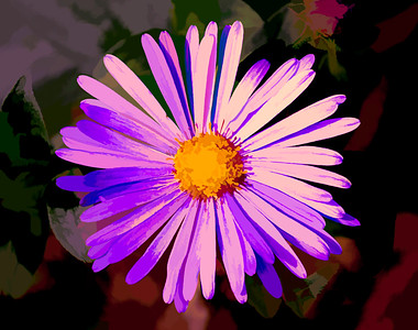 Aster head on