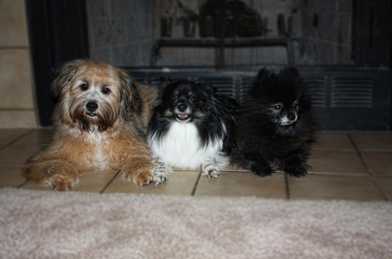 <b>Pomeranian & Pomeranian / Yorkie</b>