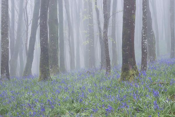Hooke Bluebells