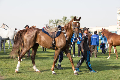 Beautiful Arab horse getting ready for an endurance race.