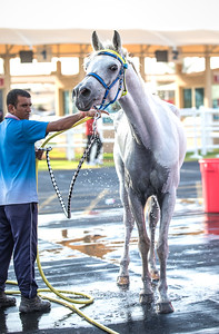 Dubai, UAE - Sep 30, 2017: A relaxed grey Arabian horse enjoying a refreshing shower on a sunny day ahead of an endurance race.