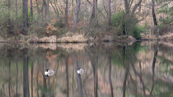Ducks and reflections