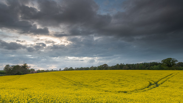 Rapeseed field just before sunset