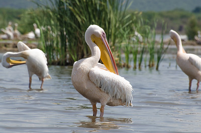 Pelecans, lake Chamo