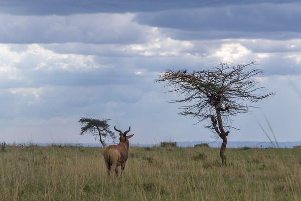 Swayne Hartebeest antelope