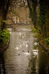 Belgium, Brugge: Swans on a canal in Brugge, Belgium
