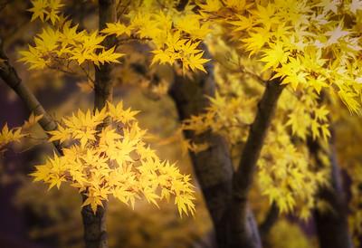 Golden Japanese Maple