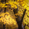 Golden Japanese Maple
