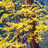 Dancing Yellow Maple