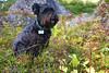 Major sits in a patch of Crowberries, waiting patiently for his Humans to finish picking Blueberries.