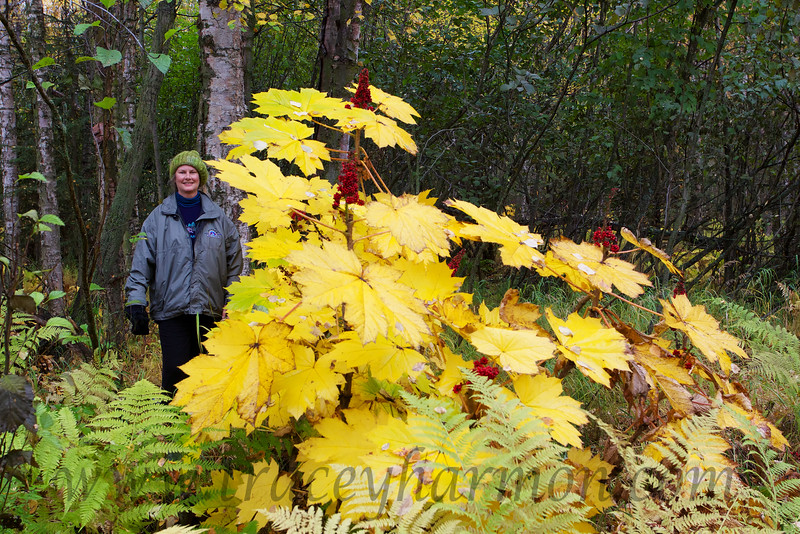 Kim and the thorny, but medicinal, Devil's Club plant, in it's fall colors. This plant is all too common here in Alaska.