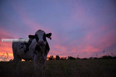 Cow Sunsets