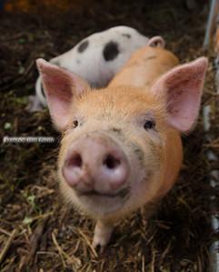 Piglet Smile