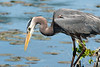 Fishing Blue Heron