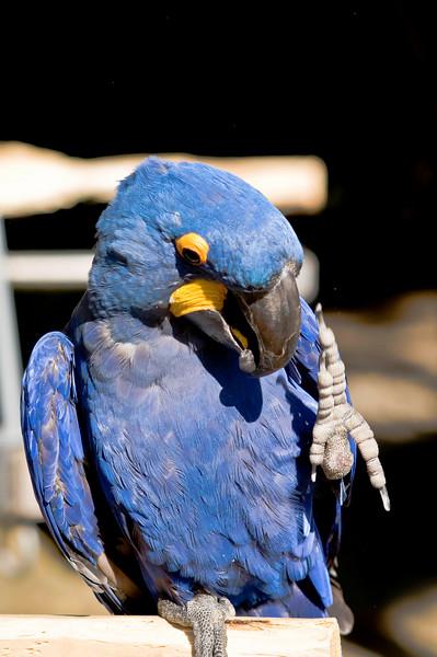 Macaws - Cougar Mountain Zoo