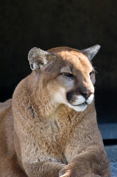 Mountain Lion - Cougar Mountain Zoo