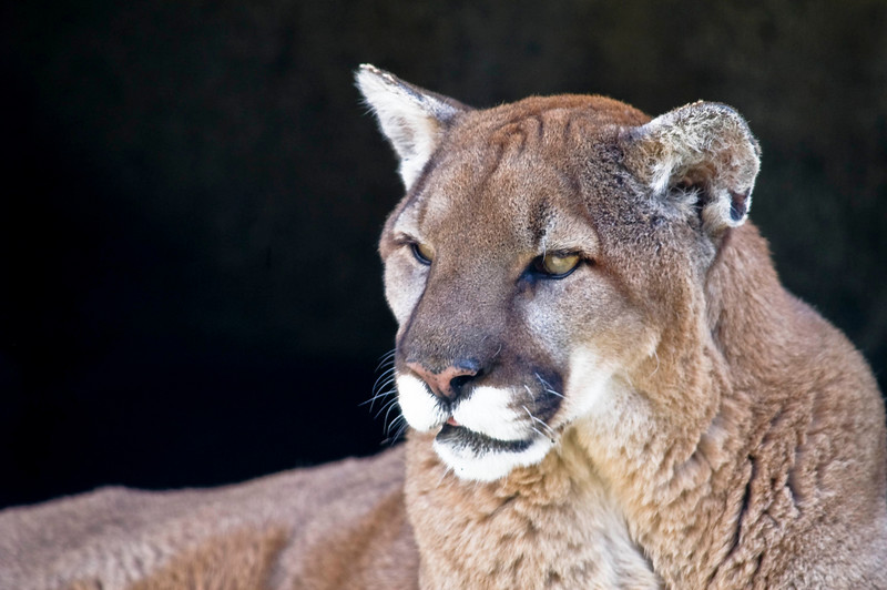 Mountain Lion - Cougar Mountain Zoo