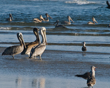 Pelicans at Canon Beach