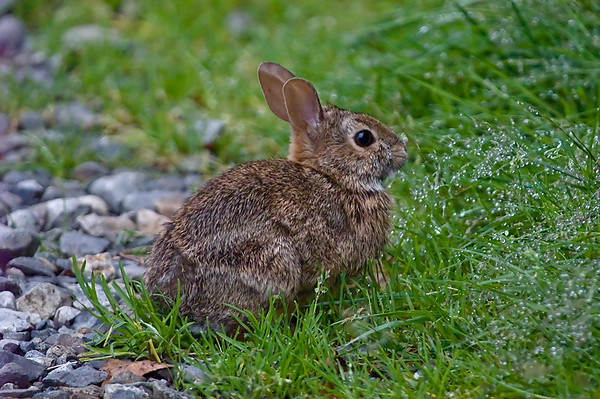 Wild Rabbit - Bridle Trails State Park Washington