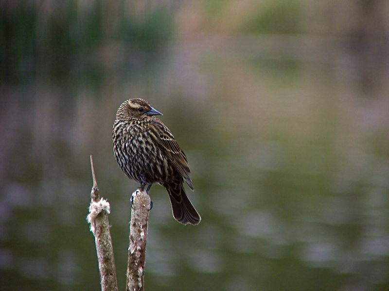 Red Wing Blackbird - Female