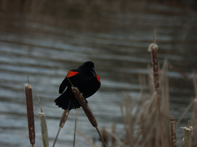 Red Wing Blackbird - Male