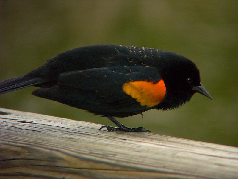 Red Wing Blackbird - Male