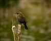 Red Wing Blackbird - Female