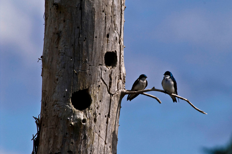 Tree Swallows out side their next (The lower hole).