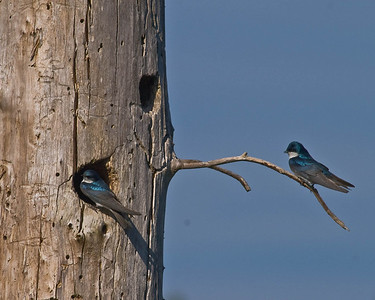 Tree Swallows at their nest