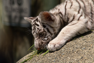White Tiger - Couger Mountain Zoo- Issaquah Washington