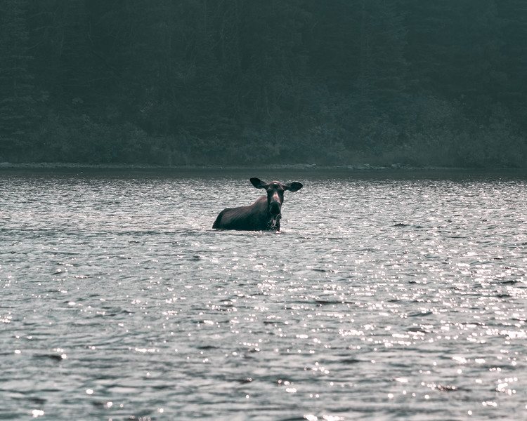 Moose At Fishercap Lake, Montana