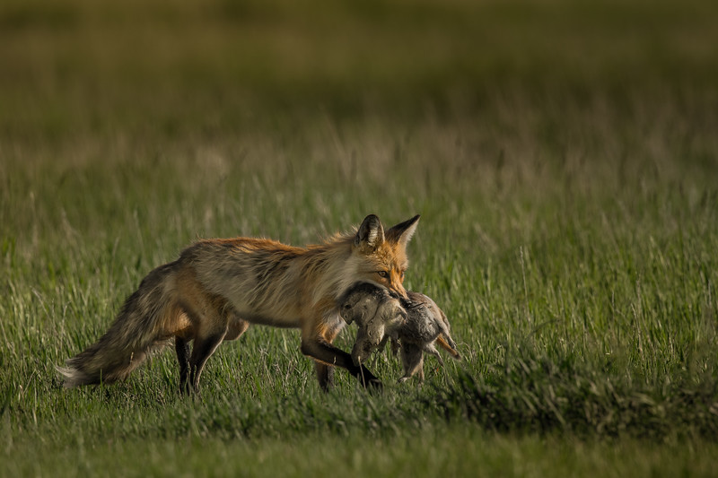 Red Fox and Ground Squirrel Prey
