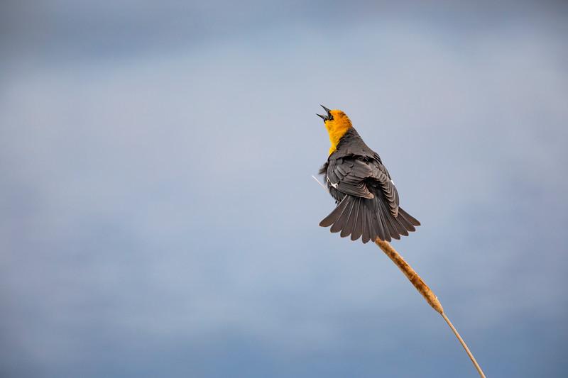 Male Yellow Headed Blackbird