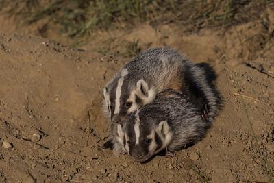 Badger Cub Siblings