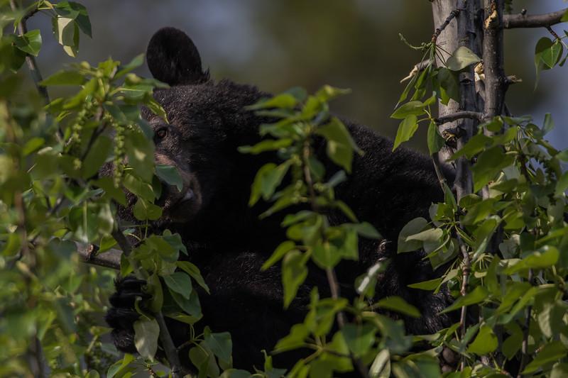 Arboreal Bear